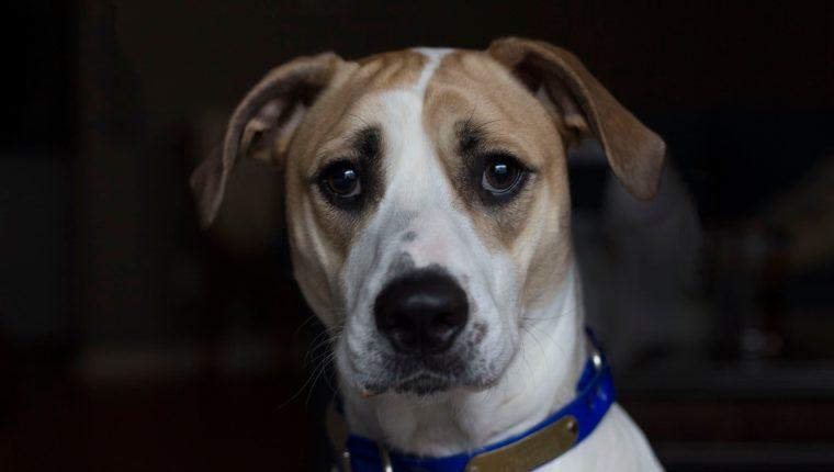 Adaptar una mascota a un hogar es un proceso en el que se debe tener paciencia. En el caso de los animales adoptados, se requiere comprender que pudieron haber tenido un pasado difícil, además de no estar sujetos a ninguna norma. (Foto Prensa Libre: Servicios)