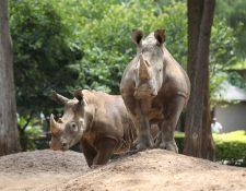 La pareja de rinocerontes blancos conoce su nuevo recinto en el Zoológico la Aurora. (Foto Prensa Libre: Óscar Rivas).