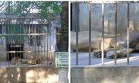 Gruñón es un león que permanece en cautiverio en el zoológico privado de Zacapa. (Foto Prensa Libre:  redes sociales)