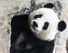 """Meng Meng, que se traduce como """"Pequeño sueño"""" (en la foto) y el macho Jiao Qing (""""Pequeño tesoro"""") son los únicos animales de esta especie visibles actualmente en Alemania. (picture-alliance/dpa/P. Zinken)"""