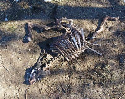 la misteriosa muerte de toros tiene en alerta a ganaderos y Policía de las zonas rurales del Oregón (EE. UU.), donde se manejan ya teorías sobre cultos satánicos o fenómenos alienígenas. (Foto Prensa Libre: EFE)