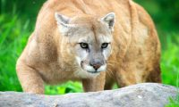 Puma on the lookout - Minnesota USA.    Biosphoto / Sylvain Cordier