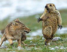 Ni siquiera la intervención de la madre de esta cría de marmota pudo cambiar el resultado de su encuentro con un zorro.