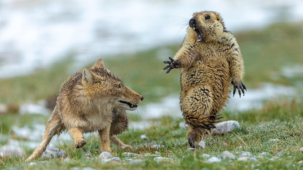 Fotógrafo de Vida Silvestre 2019: el encuentro mortal entre un zorro y una marmota, la espectacular imagen ganadora del concurso
