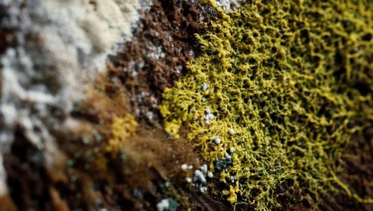 El physarum polycephalum es considerado uno de los misterios más grandes de la naturaleza. REUTERS