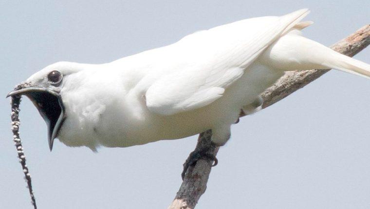 El campanero blanco (Procnias albus) es apenas del tamaño de una paloma.