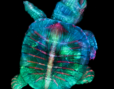Tortuga fluorescente, la imagen ganadora. © TERESA ZGODA & TERESA KUGLER/ NIKON SMALL WORLD