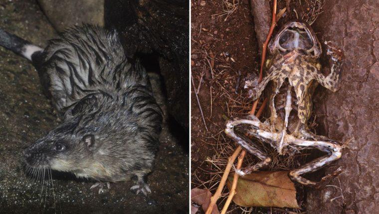 La rata acuática evita morir por intoxicación diseccionando el vientre del sapo e ingeririendo solo su corazón e hígado.