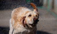 -FOTODELDIA- Katmandú (Nepal), 27/10/2019.- Un perro policía se seca tras ser bañado por su cuidador en la escuela de entrenamiento canino de la policía armada durante la celebración de adoración de los perros dentro del festival Diwali, también conocido como festival Tihar, en Katmandú este domingo. Durante el segundo día del festival, se intenta devolver a los perros todo el amor que da habitualmente el mejor amigo del hombre a sus dueños. EFE/ Narendra Shrestha