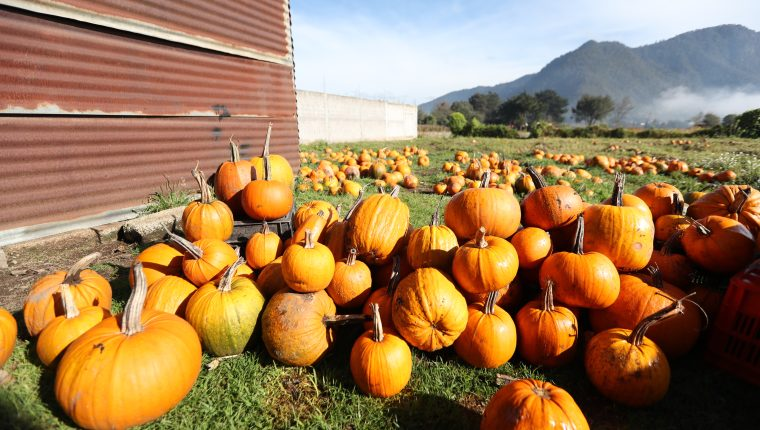 Normalmente las mejores calabazas pueden apreciarse del 15 de septiembre al 15 de octubre, parte de la producción se exporta. (Foto Prensa Libre: María Longo)