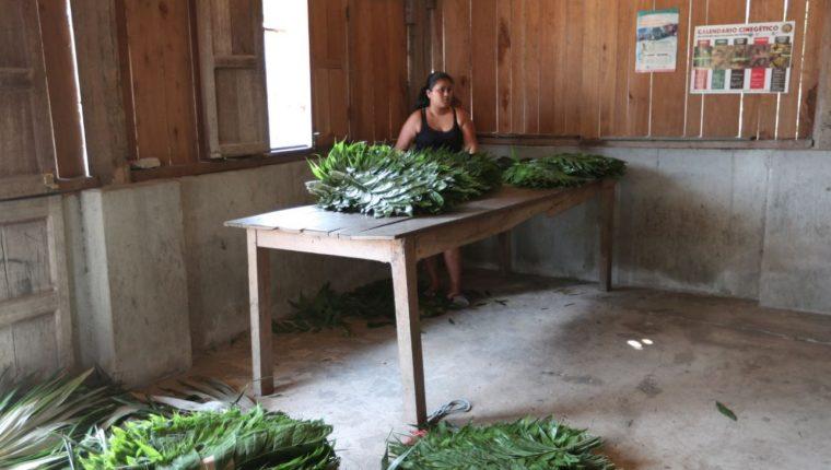 Pobladores de varias comunidades de Petén viven de los productos que generan los bosques bajo concesión. (Foto Prensa Libre: Oscar Fernando García).
