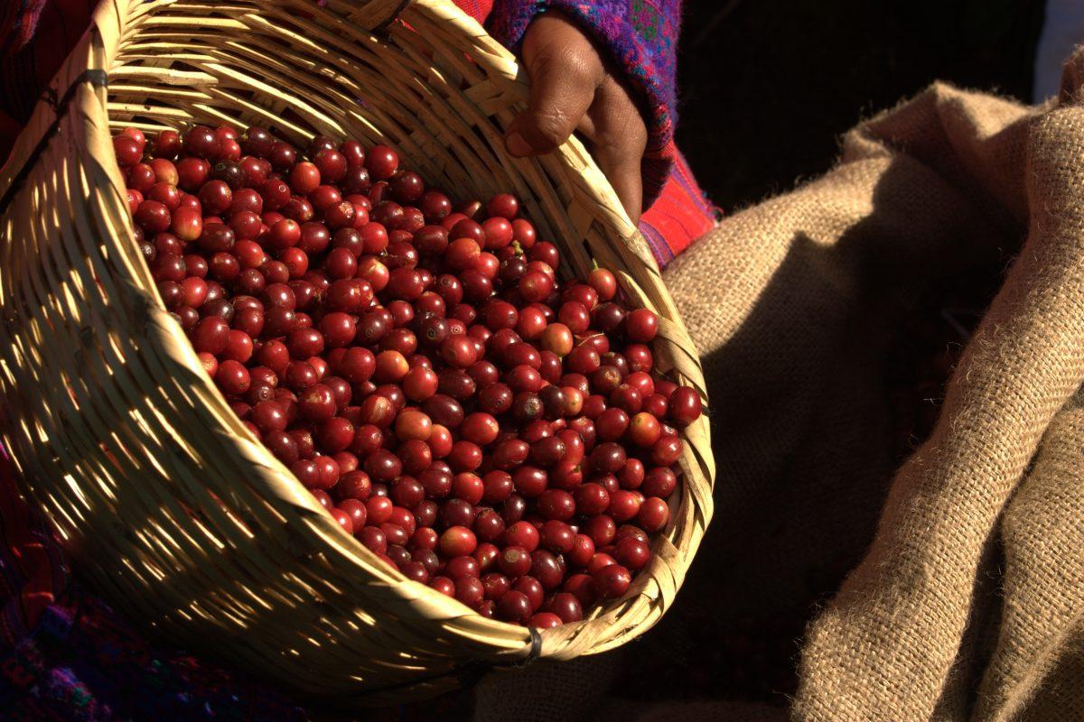 Cafés de Guatemala buscan posicionarse en mercado alemán