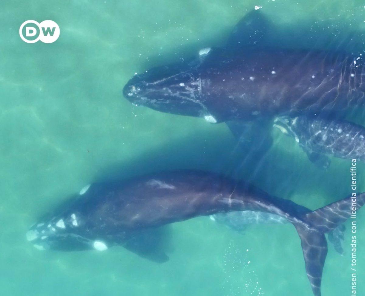 Científicos crean método para pesar ballenas sin sacarlos del mar