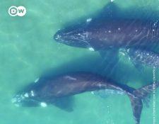 Científicos utilizan imágenes tomadas por dron para calcular el peso de las ballenas. Deutsche Belle