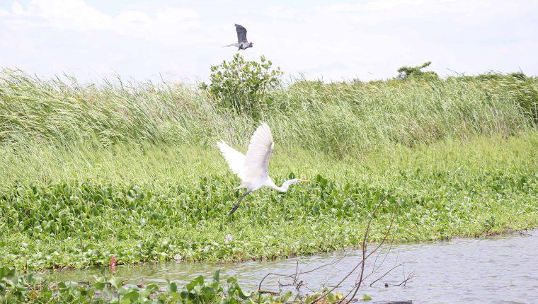 El humedal es hogar de aves nativas y da cobijo a especies migratorias, por lo que es importante su conservación. (Foto Prensa Libre: Carlos Paredes)