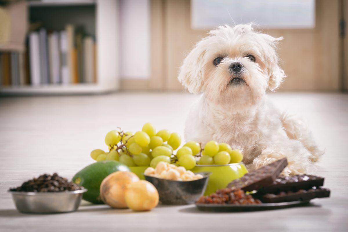 Nueces, uvas, pasas y chocolates son peligrosas para los perros
