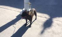 Tras el ataque al niño, el perro fue amarrado con un lazo a un poste, luego fue trasladado al Ministerio de Agricultura. (Foto Prensa Libre: La Red)