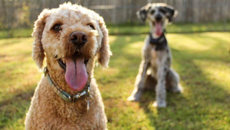 El estudio sugiere que los perros logran , a través de unas palabras, sin sentido para ellos, detectar la voz de las personas que no conocen.  (Foto Prensa Libre: Servicios)