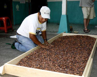 Actualmente, Guatemala produce aproximadamente mil toneladas métricas de cacao al año; la mayoría es para consumo local y elaboración de derivados. (Foto Prensa Libre: Hemeroteca)