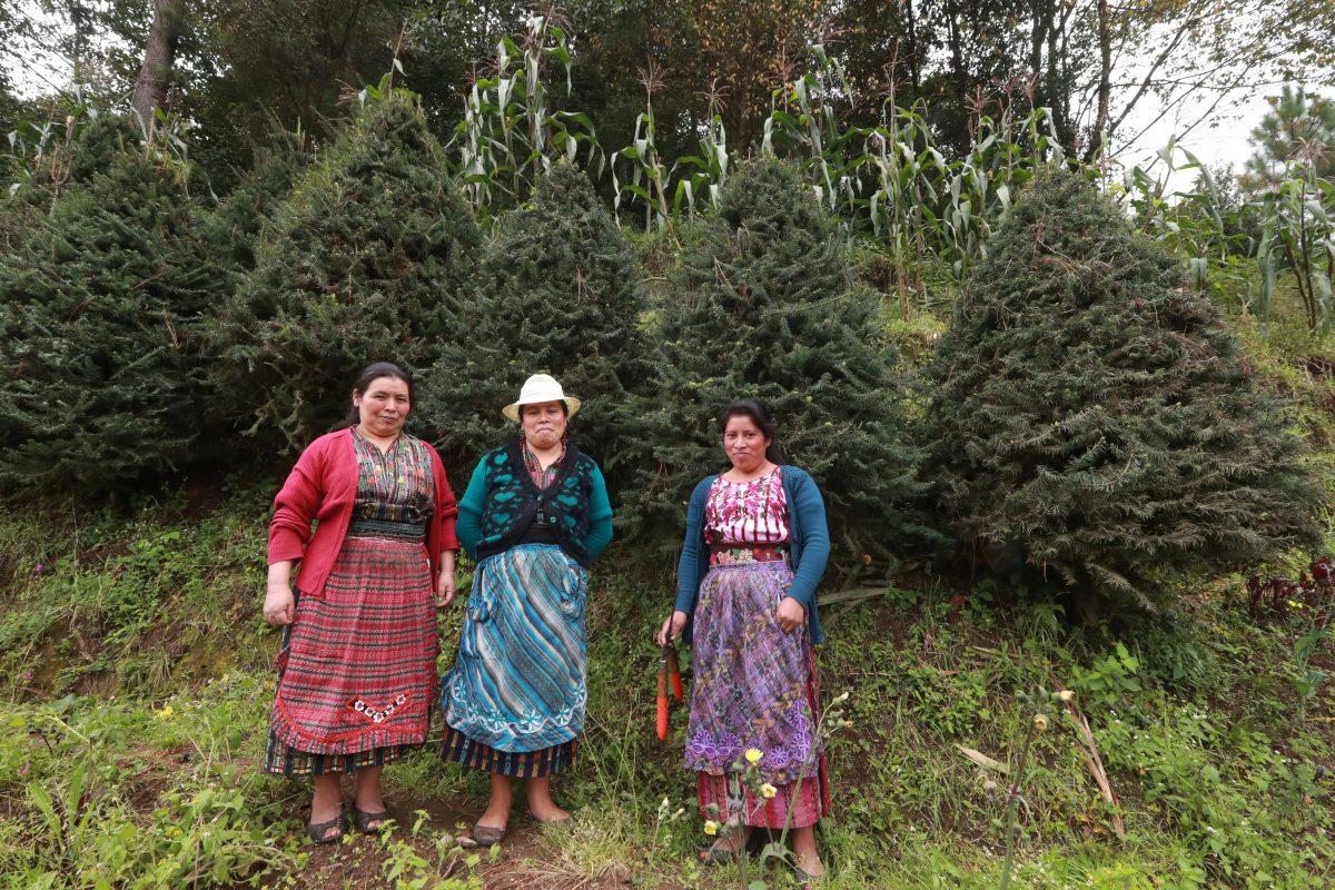 Mujeres de Pixabaj plantan pinabete en sembradíos de maíz y se alistan para comercializar en Navidad
