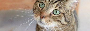Los gatos tienen apego hacia los seres humanos de un modo similar al que desarrollan los perros, e incluso los niños.  (Foto Prensa Libre: EFE)