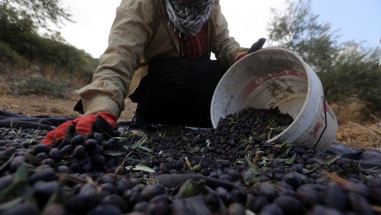 Jenin (-), 19/10/2019.- Palestinian farmer collects olives in an olive grove on the outskirts of the West Bank village of Raba, near the west bank city of Jenin, 19 October 2019. Regional farmers are harvesting their olives this year from 15 October until 15 November. According to figures issued by the United Nations some 80,000 Palestinian families earn their income from growing olives in plantations which reportedly occupy about 48 per cent of the agricultural land in the West Bank and Gaza strip. About 93 per cent of the olive harvest pressed to oil with the rest being used in soap production EFE/EPA/ALAA BADARNEH