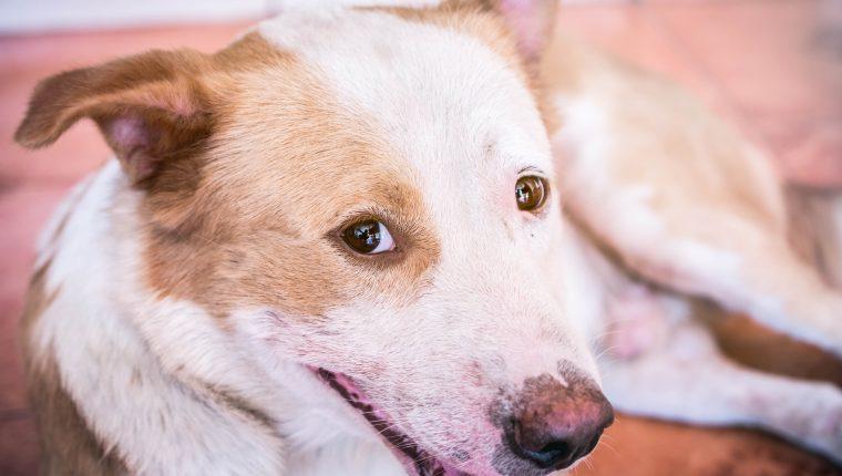 Vacunación es vital para prevenir la rabia en perros y gatos. Foto Prensa Libre: servicios
