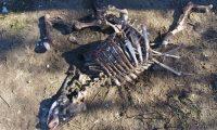 ACOMPAÑA CRÓNICA: EEUU MISTERIO. MIA19. TRINIDAD (CO, EEUU), 09/10/2019.- Fotografía cedida por el periodista Chuck Zukowski y tomada en noviembre de 2018 que muestra el cadáver descompuesto de un toro en el rancho Miller, ubicado en Trinidad, Colorado (EE.UU.). Con la lengua, el ano y los testículos extirpados mediante incisiones quirúrgicas y sin rastro de sangre, la misteriosa muerte de toros tiene en alerta a ganaderos y Policía de las zonas rurales del Oregón (EE.UU.), donde se manejan ya teorías sobre cultos satánicos o fenómenos alienígenas. EFE/Chuck Zukowski/SOLO USO EDITORIAL/NO VENTAS