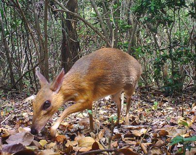 El ciervo ratón está gravemente amenazado por la caza indiscriminada con trampas caseras de alambre. GLOBAL WILDLIFE CONSERVATION
