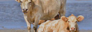 Si bien las vacas saben nadar, su travesía de varios kilómetros está fuera de las habilidades conocidas de estos animales.