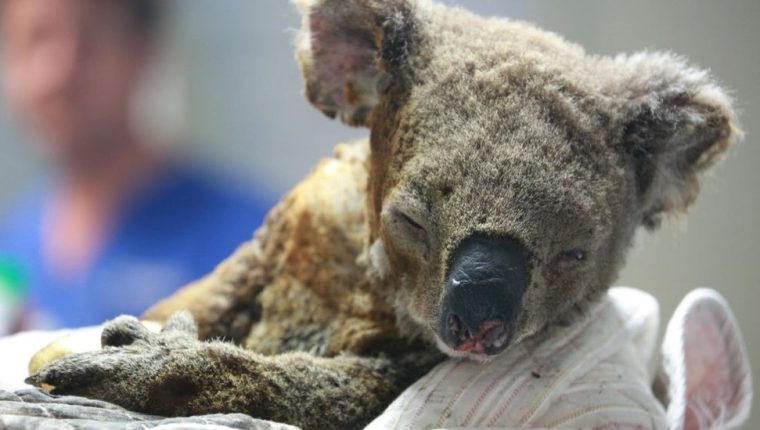 Un koala en un hospital de Nueva Gales del Sur. GETTY IMAGES