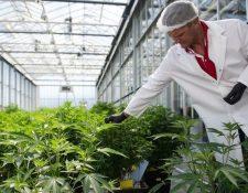 Se puede cultivar cannabis de forma legal en varios estados en Estados Unidos.