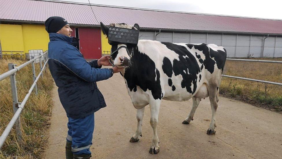 Para qué sirven las gafas de realidad virtual que en Rusia les ponen a las vacas