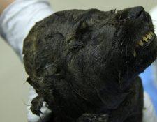 El cuerpo del animal fue hallado de manera sorprendente en excelente estado de conservación. LOVE DALEN