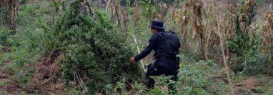 La Policía y el Ministerio Público destruyeron 550 matas de marihuana en Totonicapán. (Foto Prensa Libre: PNC)