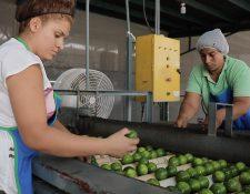 Según agro exportadores los productores y empresas guatemaltecas que compiten en el mercado de Reino Unido están altamente calificadas. (Foto Prensa Libre: Cortesía)