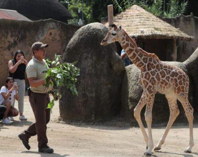 Jirafito es la nueva atracción del Zoológico la Aurora. (Foto Prensa Libre: Erick Ávila).