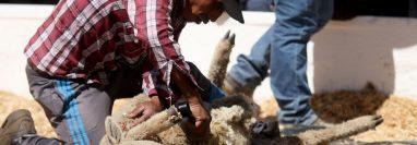 Un ovino productor participa en el concurso de esquila en la Feria del Cordero efectuada en los Cuchumatantes. (Foto Prensa Libre: Mike Castillo)