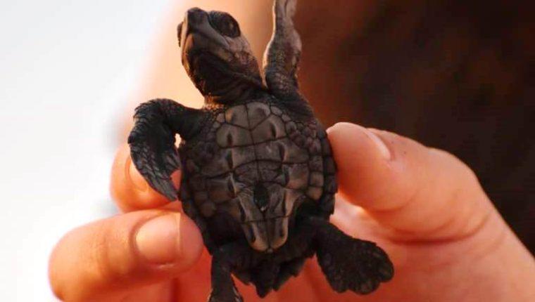 Casa de Áak en Champerico Retalhuleu liberó este año seis mil 500 tortugas parlama. (Foto Prensa Libre: Casa de Áak)