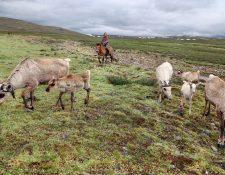 No todas las especies se pueden adaptar a los cambios del clima que se van abriendo paso en las diferentes regiones del mundo. ¿Cuál será el futuro de los renos en Mongolia? Foto Prensa Libre: DPA