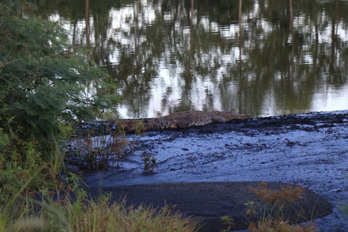 Setal, la reserva natural que cobija a grandes especies como el cocodrilo americano