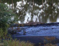 Un cocodrilo americano descansa en una de las zonas de la reserva natural Setal. (Foto Prensa Libre: Dony Stewart)