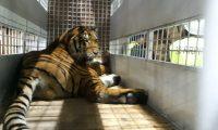 Uno de los tigres rescatados de circo que será trasladado a Estados Unidos. (Foto Prensa Libre: Conap).