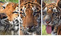 Los tigres Simba, Kimba y Max fueron llevados este 25 de noviembre hacia Florida para integrarse a un santuario de vida silvestre. (Foto Prensa Libre: ADI)