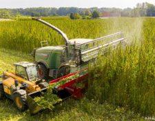 Cultivo de plantas de cannabis. La compañía canadiense Mariplant cultiva 56 hectáreas en las afueras de Dresde, para uso medicinal.