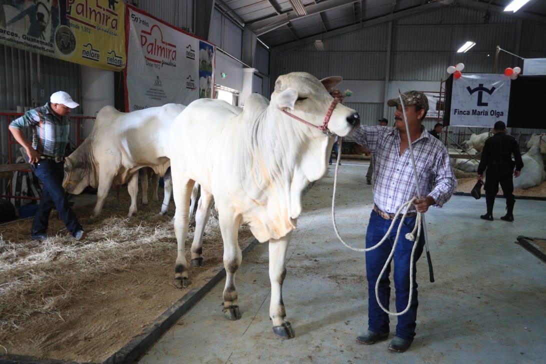 Reto al contrabando: Guatemala empezará a exportar ganado a México