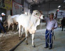 Ganaderos guatemaltecos enviarán en diciembre los primeros despachos de ganado en pie hacia México, luego de haber finalizado el proceso de negociación y cumplimiento de las normativas sanitarias para el ingreso de animales. (Foto Prensa Libre: Carlos Hernández Ovalle)