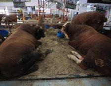 El hato ganadero en Guatemala es de 1.8 millones de cabezas y el 20% es el lechero. (Foto Prensa Libre: Hemeroteca)