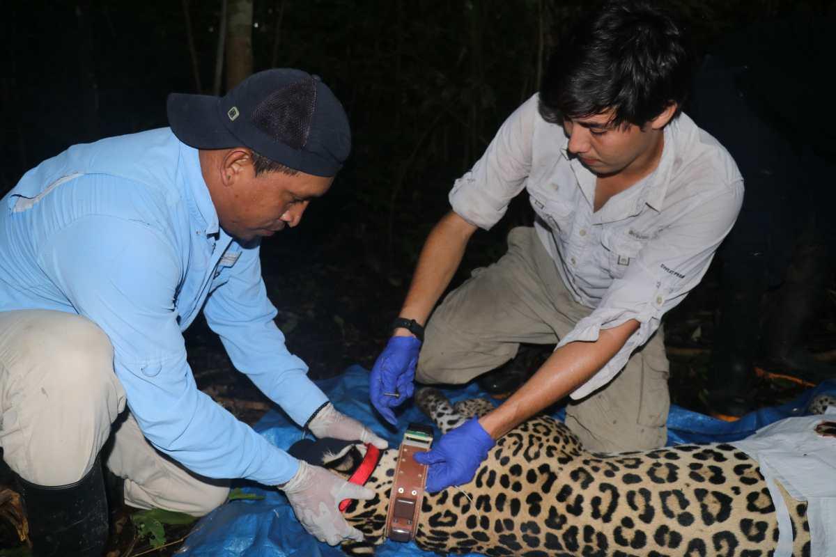 Colocan un GPS por primera vez a un jaguar en Panamá para luchar contra su extinción