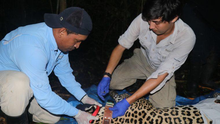 Científicos de la Fundación Yaguará colocan un dispositivo GPS a una Jaguar hembra en la selva del Darién, Panamá.  (Foto Prensa Libre: EFE)